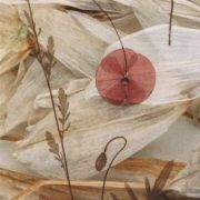 Corn poppy and Star of Bethlehem