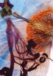 Nirene and Himalayan Blue Poppy