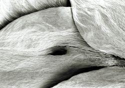 Waved Silk Moss  Plagiothecium indulatum